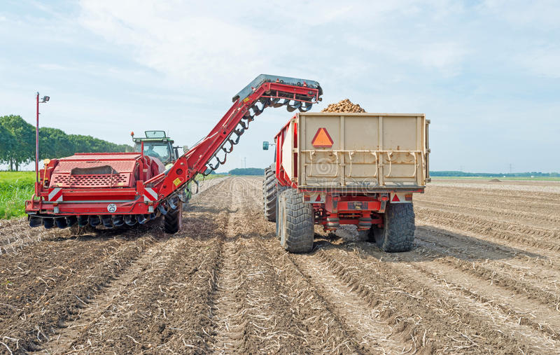 Harvesting potatoes from a field royalty free stock photography
