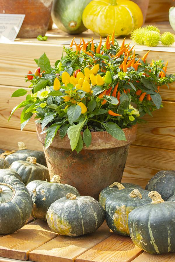Harvesting pumpkins and peppers. Green striped gourds and red yellow hot jalapeno peppers in a clay pot. Autumn harvest of stock photos