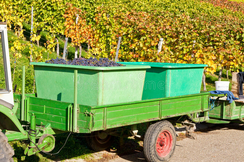 Harvesting red grapes, Remstal, Germany. Red grapes in a trailer - harvesting red grapes in Remstal, Germany stock photo