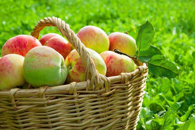Harvesting of red juicy ripe apples stock image