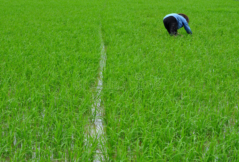 Download Harvesting Rice editorial stock photo. Image of economy - 27432923