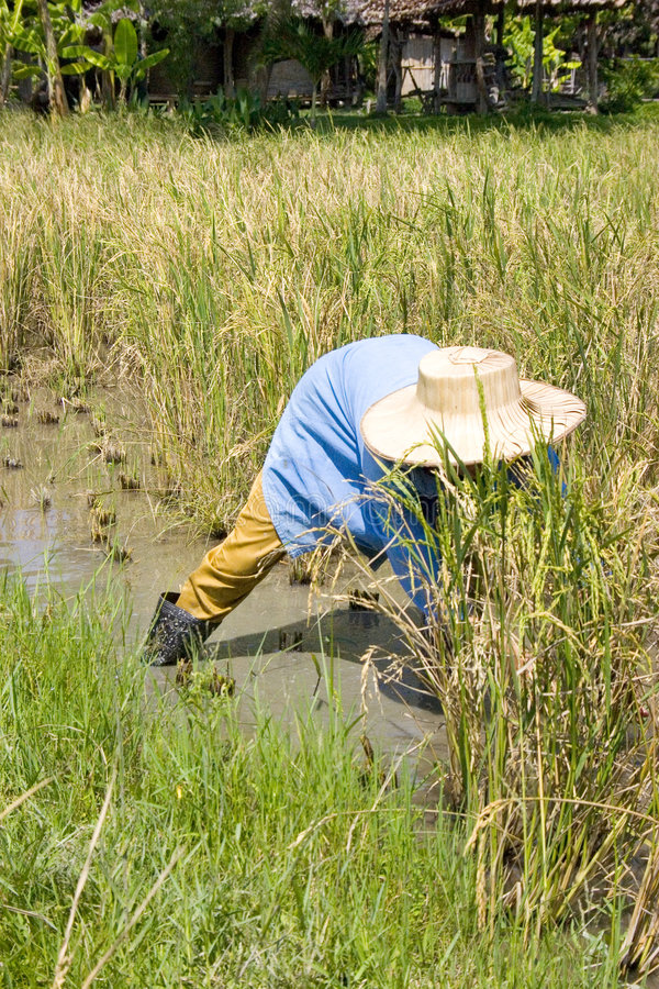 Harvesting the Rice royalty free stock image