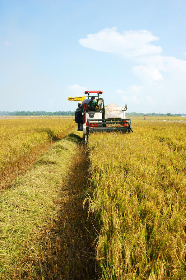 Harvesting Ripe Rice On Paddy Field Editorial Photo