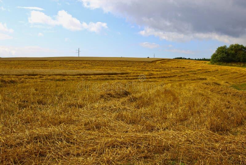Harvesting ripe rye ears in a field
