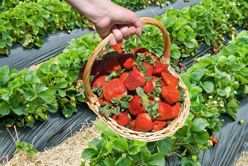 Harvesting strawberries stock images