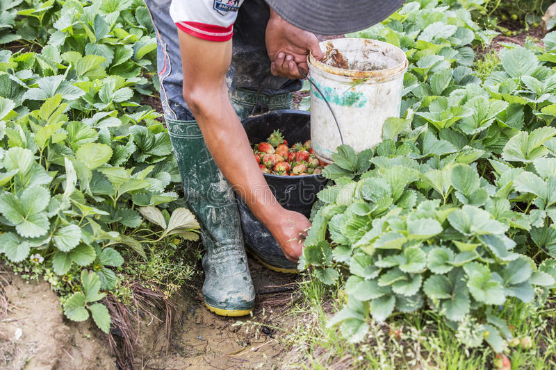 Harvesting strawberries in farm near Langbiang mountain, Lam province, Vietnam. Harvesting strawberries in beautiful strawberry farm, Da Lat, Lam province stock photography