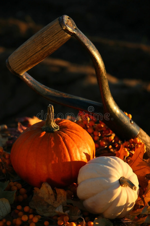 Harvesting for Thanksgiving. Harvesting puympkins and gourds for Thanksgiving royalty free stock image