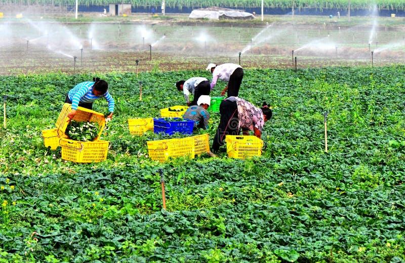 Harvesting vegetable. Women harvesting green vegetable at broad farm,guangzhou city,china pic on nov 16,2011 stock photo