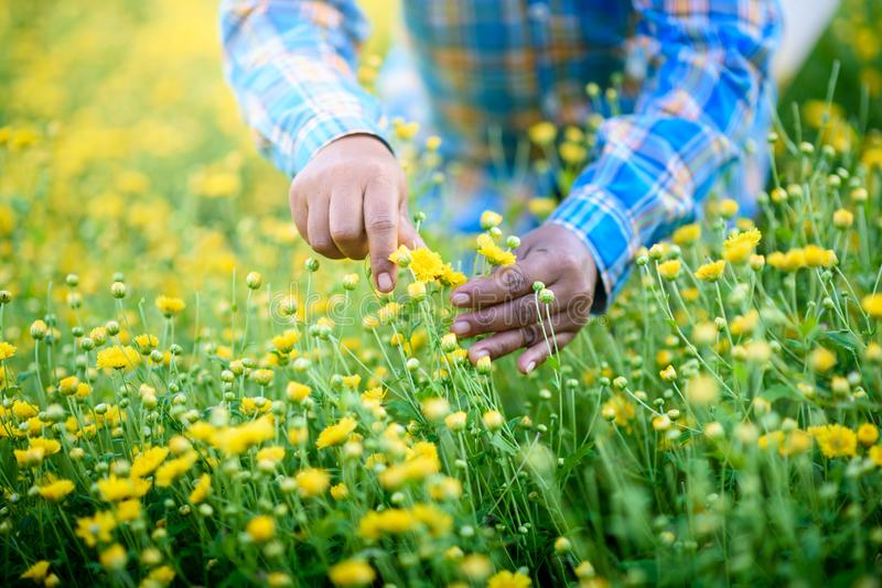 Harvesting yellow chrysanthemumdaisies flower. In farmer hands, which flowers In traditional Chinese medicine has a therapeutic effect so it is an economic crop royalty free stock image