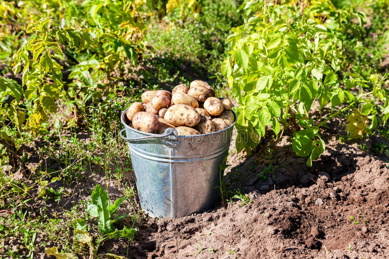Harvesting of young fresh not washed potatoes stock photography