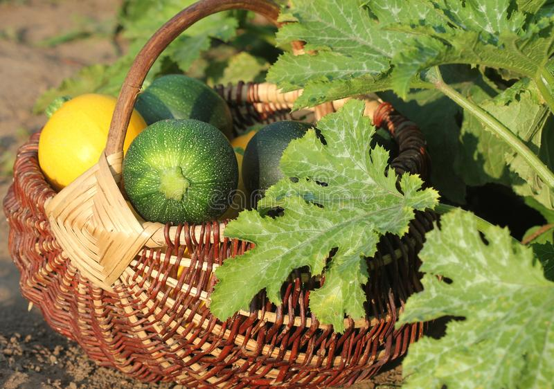 Harvesting zucchini. Fresh squash lying in basket. Fresh squash picked from the garden. Organic food concept stock images