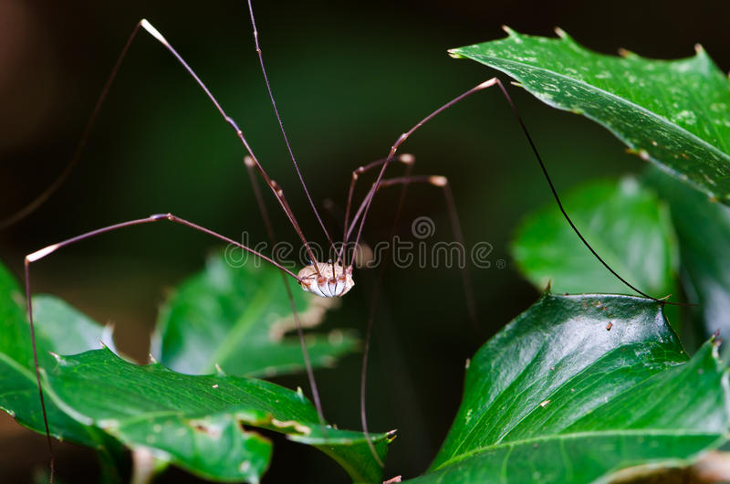 Harvestman or Daddy Long Legs stock images
