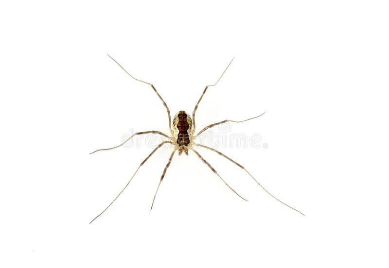 Harvestman. Longlegged arachnidae on a white background royalty free stock photography