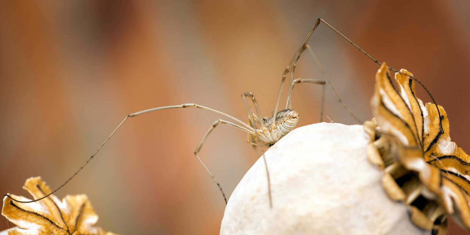 Harvestman moving from one Poppy seed head to another, panorama stock photography