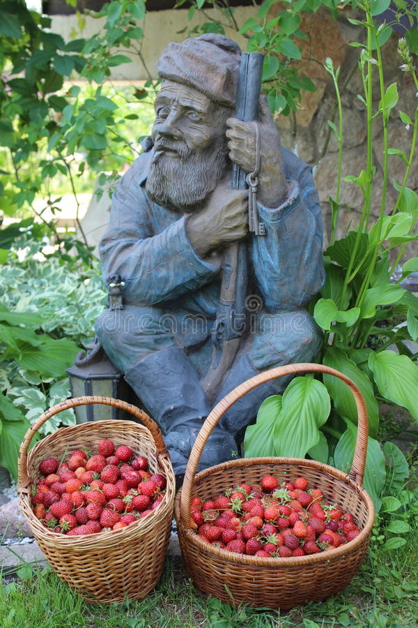 The harvestor. Grandfather hunter-gatherer to harvest strawberries stock photo
