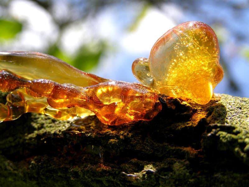 Harz des Baums lizenzfreie stockbilder