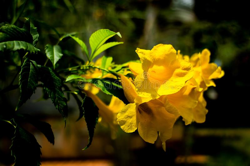 Yellow trumpetbush NO.02. Has a bell or trumpet look. Common names include yellow trumpetbush, yellow bells, yellow elder, ginger-thomas royalty free stock photography