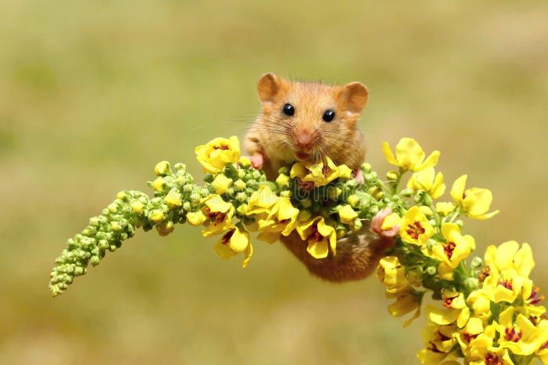 Haselmaus auf Blume stockfoto