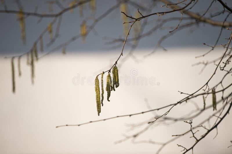 Haselnussbaumblumen lizenzfreies stockbild