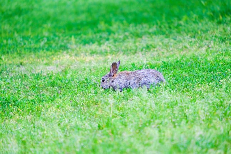Hasen im grünen Gras im Wald lizenzfreie stockfotografie