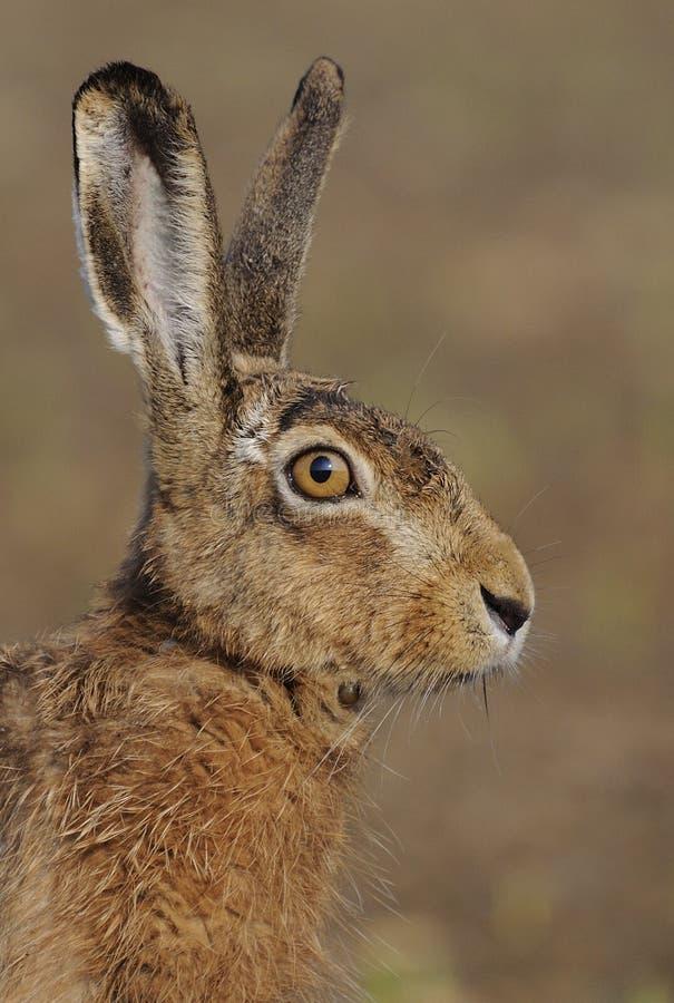 Hasen (Lepus europaeus) stockfotos
