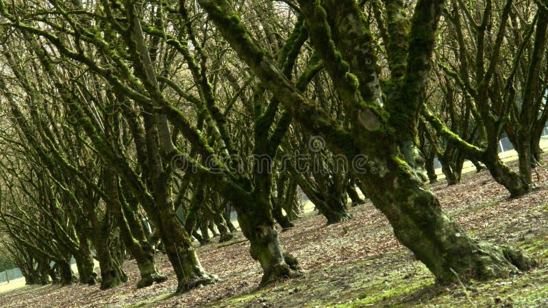 hasselnötfruktträdgård arkivbilder