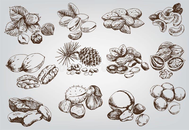 Hasselnötter stock illustrationer