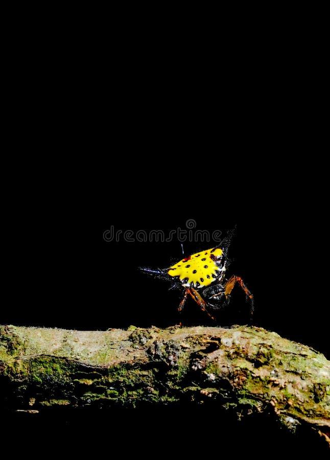 Hasseltii de Gasteracantha con el carácter de la estancia trasera amarilla de la espina en telaraña cerca de la madera y del fond fotografía de archivo libre de regalías