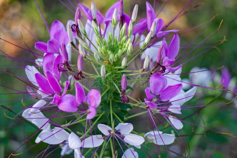 """Hassleriana del Cleome del †de la flor de araña """" fotos de archivo"""