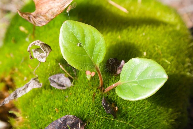 Hassock overgrown com musgos imagem de stock royalty free