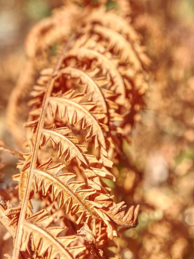 Haste alaranjada seca da samambaia Quente extremo na floresta sem alguma chuva foto de stock royalty free
