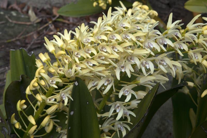 Haste amarela da flor do speciosum do Dendrobium ou da orquídea da rocha de sydney fotografia de stock