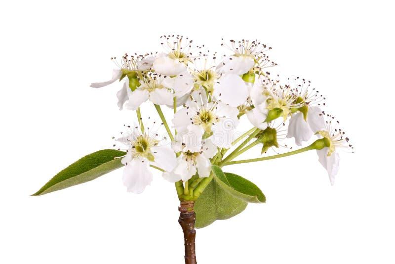 A haste com as flores asiáticas da pera isolou-se imagem de stock