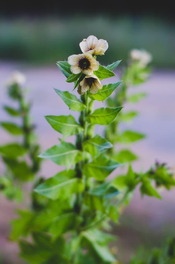 Haste com as flores de creme de florescência do prado delicadamente Centro do foco Foco no centro imagem de stock royalty free
