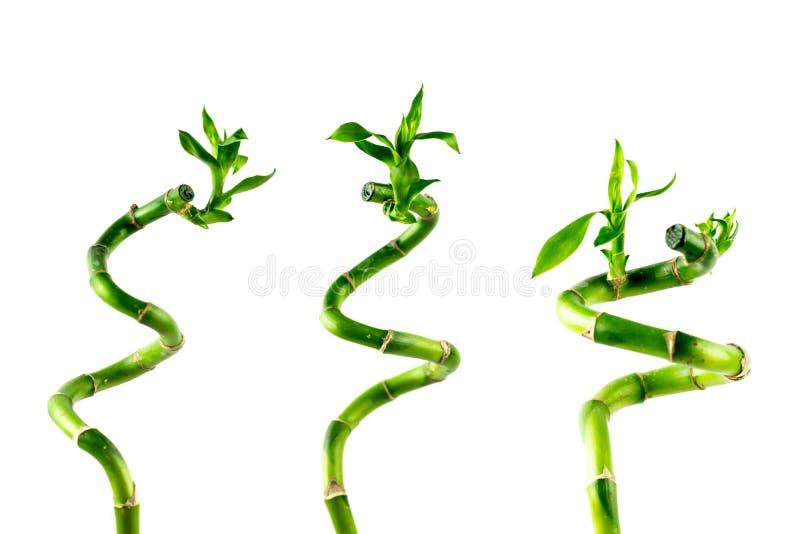 Haste de três houseplant de Lucky Bamboo Dracaena Sanderiana com folhas verdes, torcida em uma forma espiral, isolada no branco foto de stock royalty free