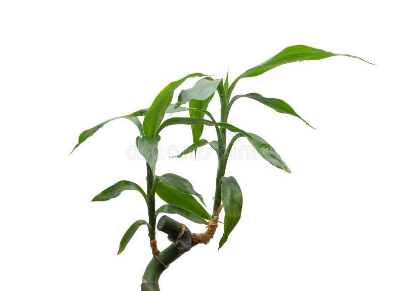 Haste e folha de bambu no fundo isolado branco fotos de stock royalty free