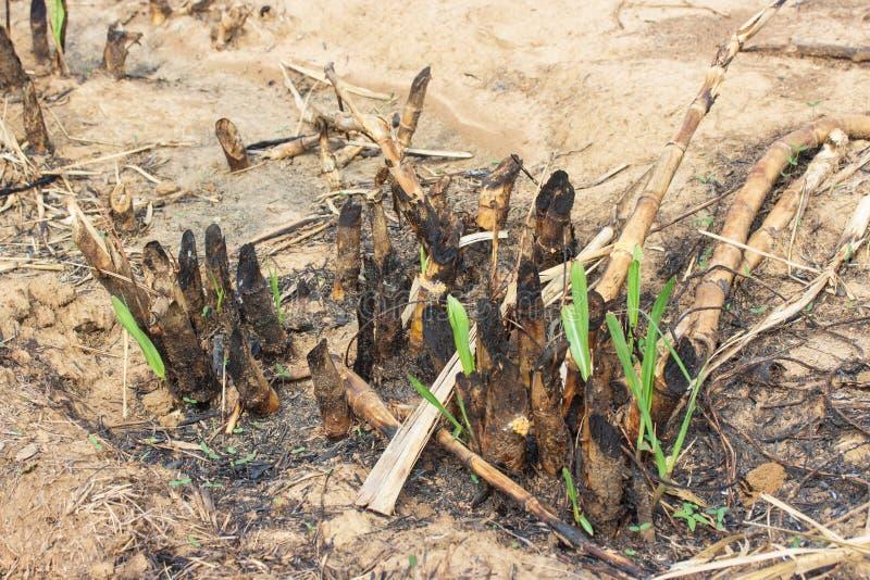 Haste pequena do cana-de-açúcar no campo preto do solo após a queimadura após a colheita foto de stock