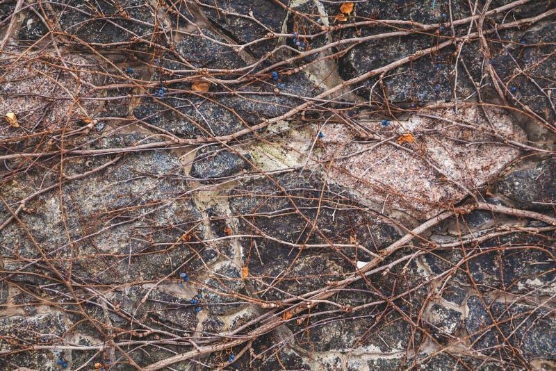 Hastes das uvas na cerca de pedra no outono fotos de stock royalty free