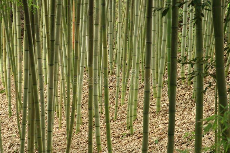 Hastes de bambu das plantas da haste da grama que crescem no parque de Califórnia imagem de stock