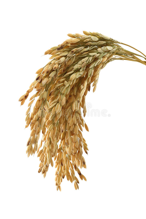 Hastes do arroz imagem de stock