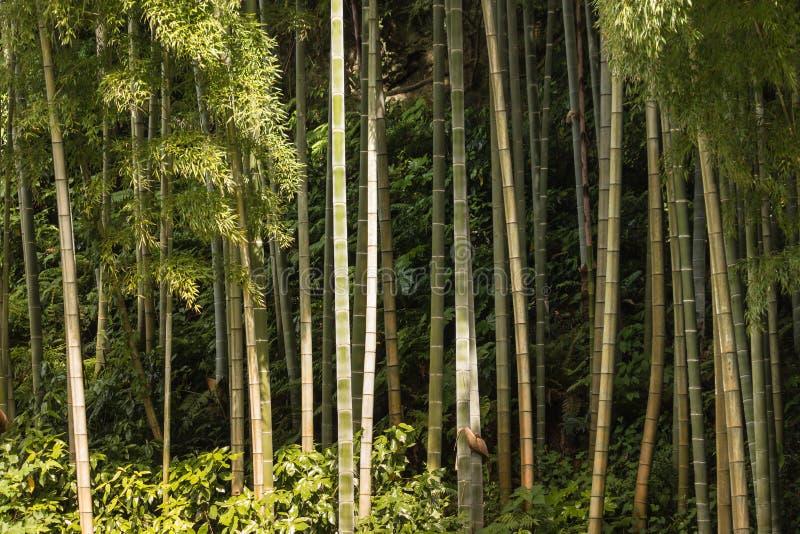 Hastes do bambu gigante que crescem na floresta fotos de stock royalty free