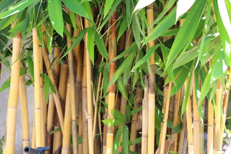 Hastes e folhas crescentes do bambu novo foto de stock royalty free
