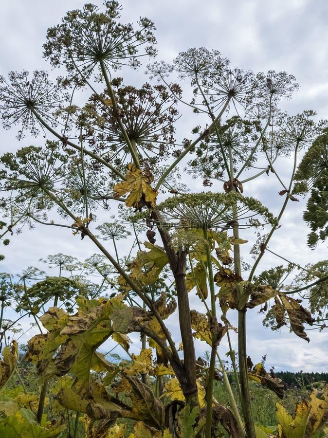 Hastes e inflorescência do guarda-chuva do desvanecimento hogweed no fundo do céu As plantas perigosas são mais altas do que um h foto de stock royalty free