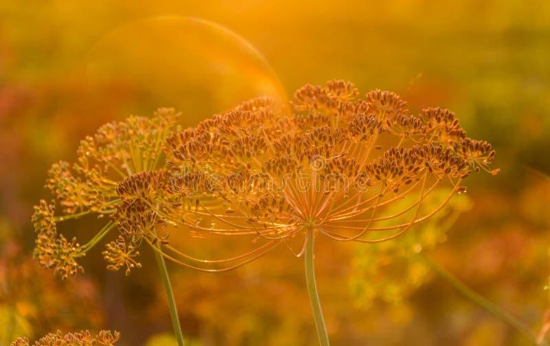 Hastes e inflorescência do umbel do aneto no por do sol fotografia de stock