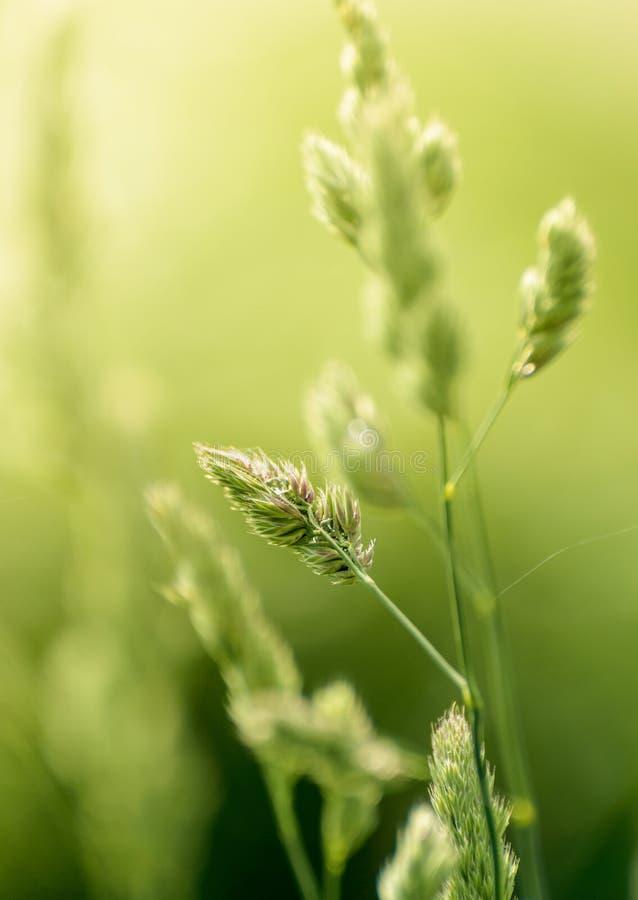 Hastes longas da grama selvagem natural retroiluminada pela luz solar morna obscura da manh? no campo foto de stock royalty free