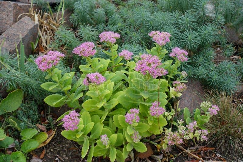 Hastes suculentos eretas de Hylotelephium spectabile com as flores cor-de-rosa estrela-dadas forma carregadas em cymes lisos fotografia de stock