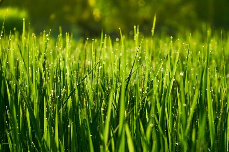 Hastes verdes brilhantes longas do arroz como o fundo imagens de stock royalty free