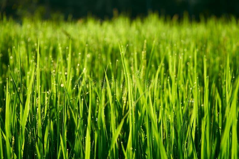 Hastes verdes brilhantes longas do arroz como o fundo fotos de stock royalty free