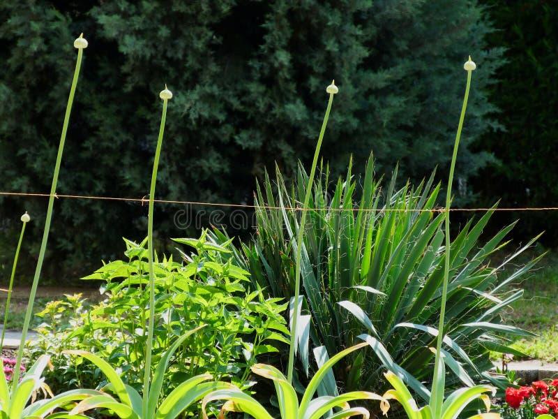 Hastes verdes da difamação alta de flores da cebola em seguido imagem de stock