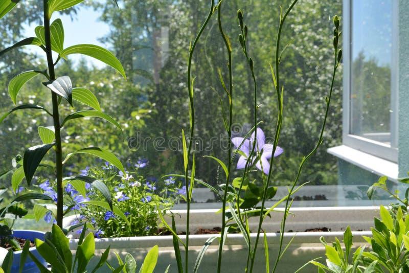 Hastes verdes elegantes com as folhas no balcão Persicifolia do lírio e da campânula imagens de stock royalty free